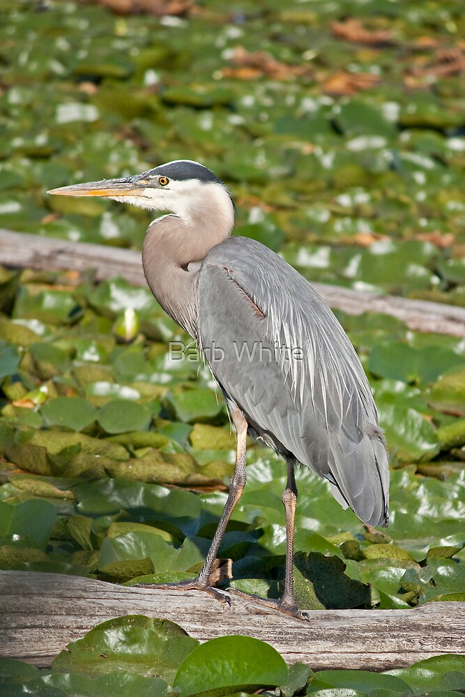 Great Blue Heron (4) by Barb White