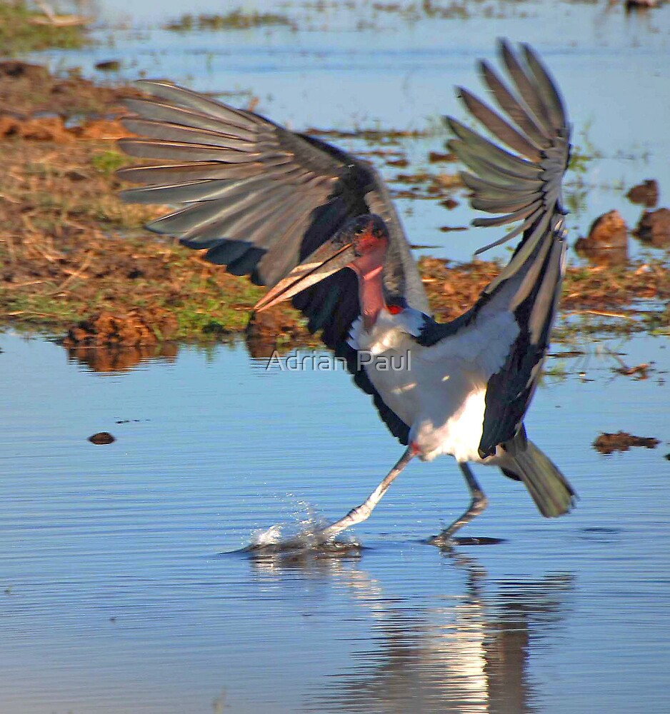 Marabou Stork, Chobe National Park, Botswana, Africa by Adrian Paul