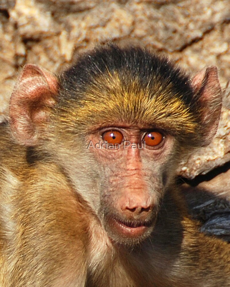Baby Baboon, Chobe National Park, Botswana, Africa by Adrian Paul
