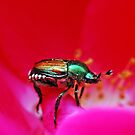 Japanese Beetle by Danielle Girouard