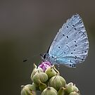 Holly Blue Butterfly on Bramble by M G  Pettett