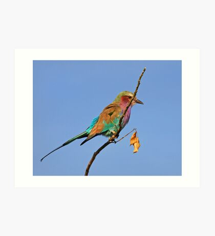 Lilac Breasted Roller, Moremi Game Reserve, Botswana Art Print