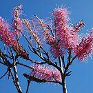 Grevillea Petrophiloides, Kalbarri National Park, Western Australia by Adrian Paul