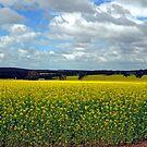 Fields of Gold, New Norcia, Western Australia by Adrian Paul
