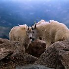Mountain Goats of the Rockies by Bill Wetmore