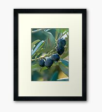 Israel, Galilee, close up of the black olives, branches and leaves of an Olive tree Framed Print