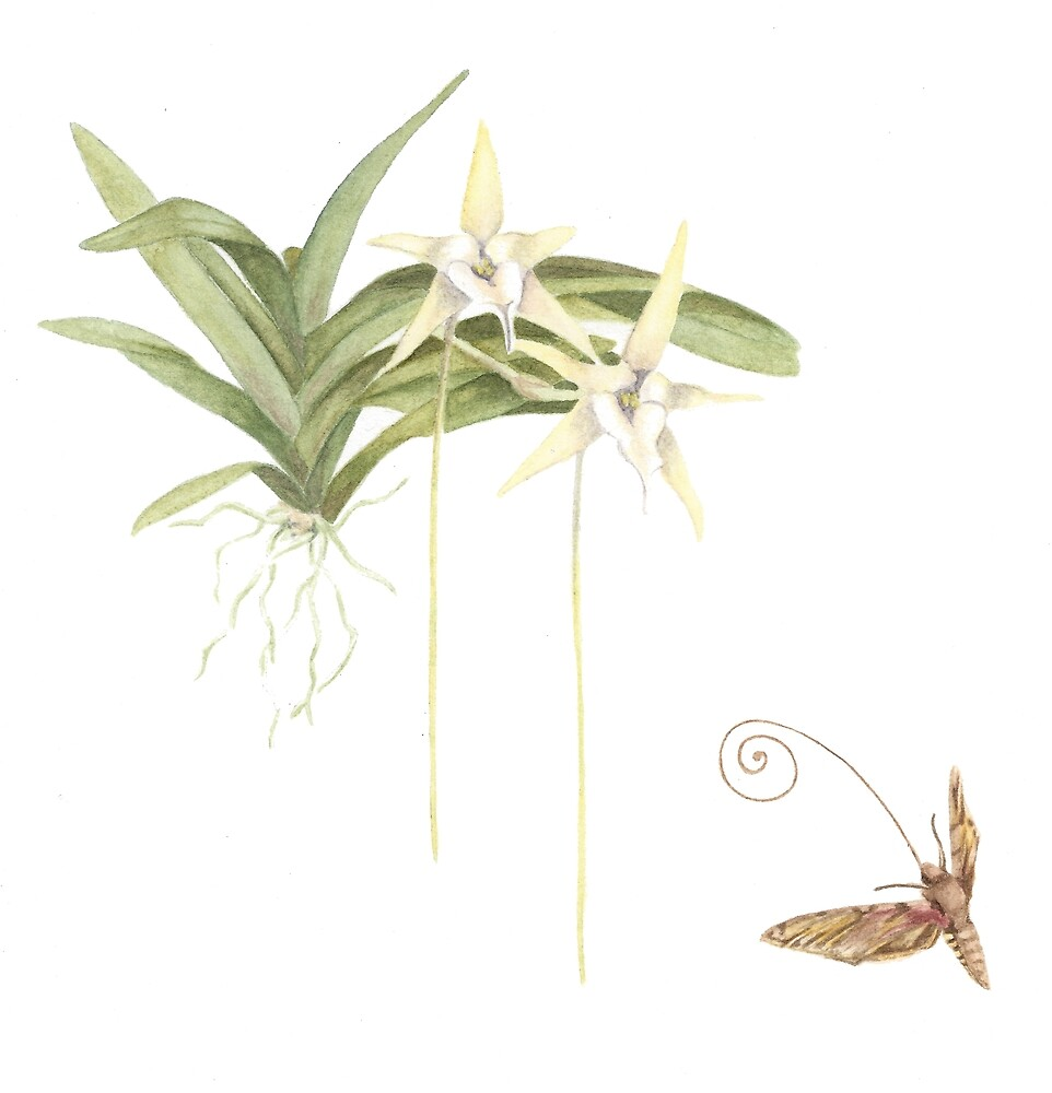 Darwin's Orchid and Moth by lifescience