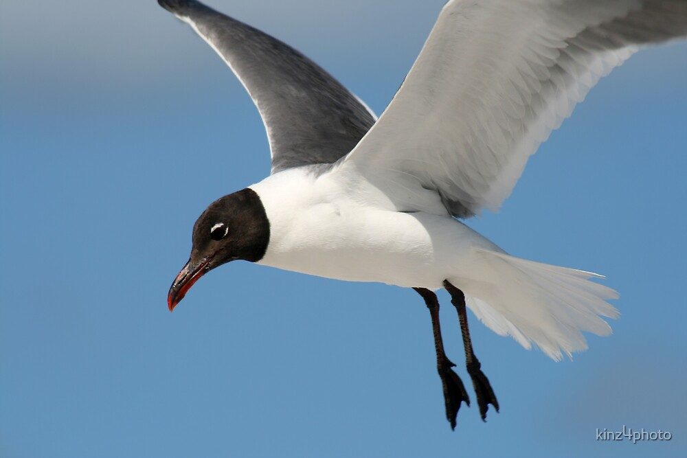 Gull Flight by kinz4photo