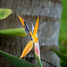Bird of Paradise by Imagery
