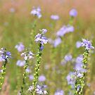Blue Toadflax by ©Dawne M. Dunton