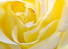 Inside Yellow Rose by Svetlana Sewell