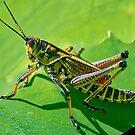 Grasshopper on a Leaf. by TJ Baccari Photography