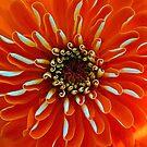 Symmetry - Orange Zinnia by T.J. Martin