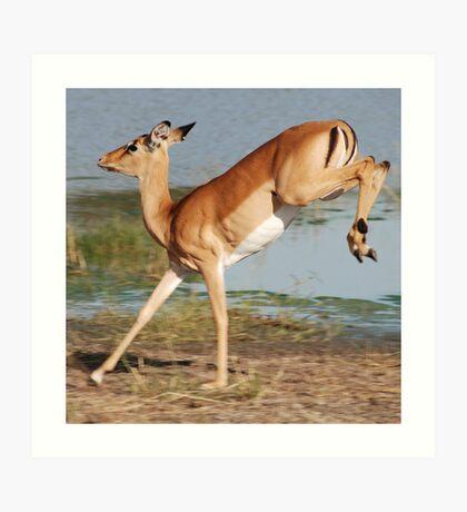 Impala  - Moremi Wildlife Reserve, Botswana, Africa Art Print