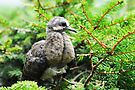Baby Mourning Dove by Lynda   McDonald