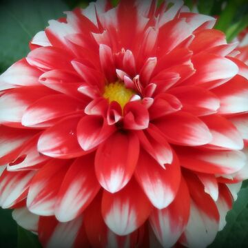 Red And White Dahlia by kkphoto1
