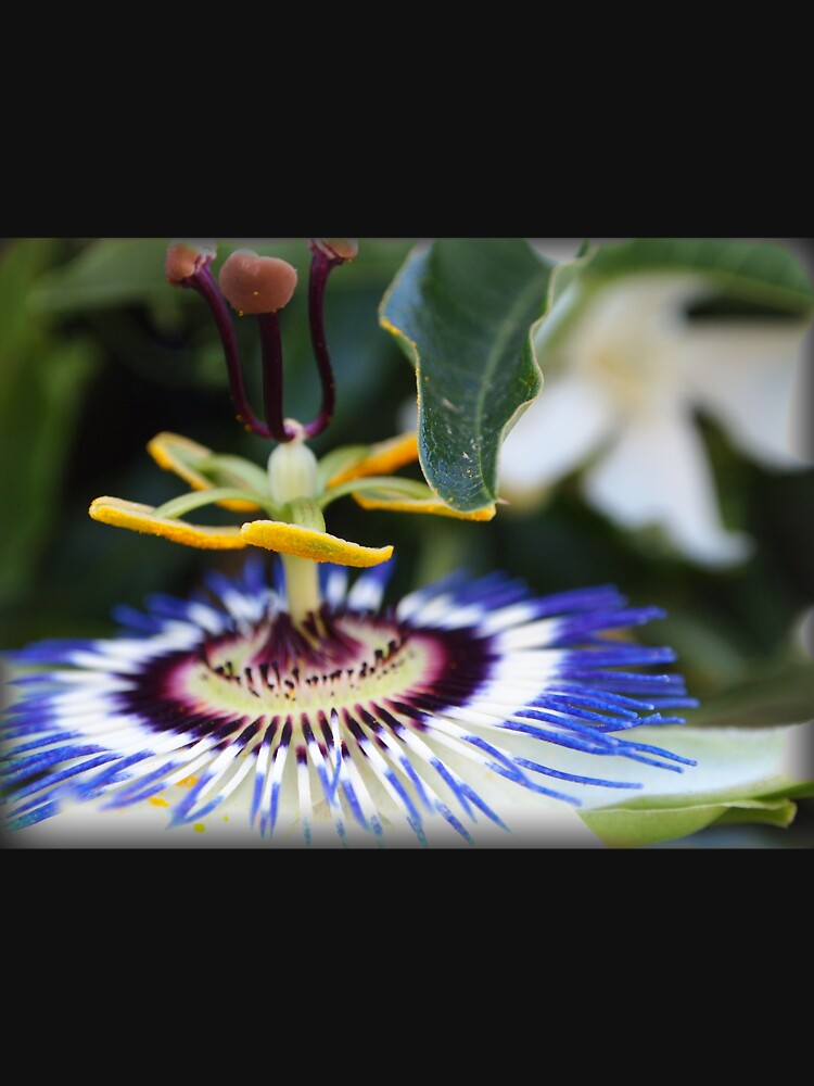 Passionflower (passiflora) from my neighborhood by douglasewelch