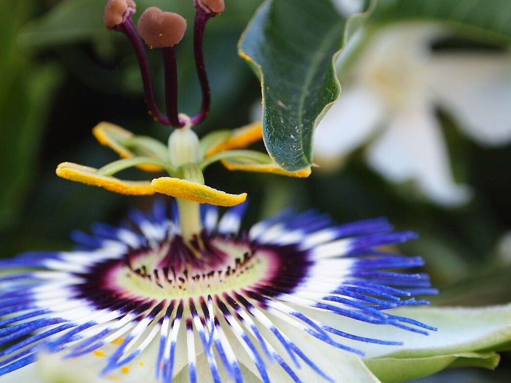 Passionflower (passiflora) from my neighborhood by Douglas E.  Welch