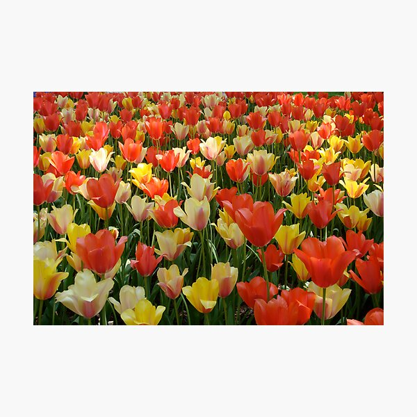 F Red Tulips In Amsterdam Art Print Home Decor Wall Art Poster
