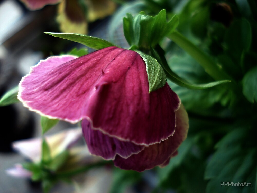 Pinky by PPPhotoArt