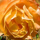 Yellow Rose by DebbieG