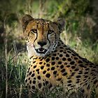 Portrait of a Cheetah by Karine Radcliffe