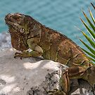 Iguana on Stone by andykazie