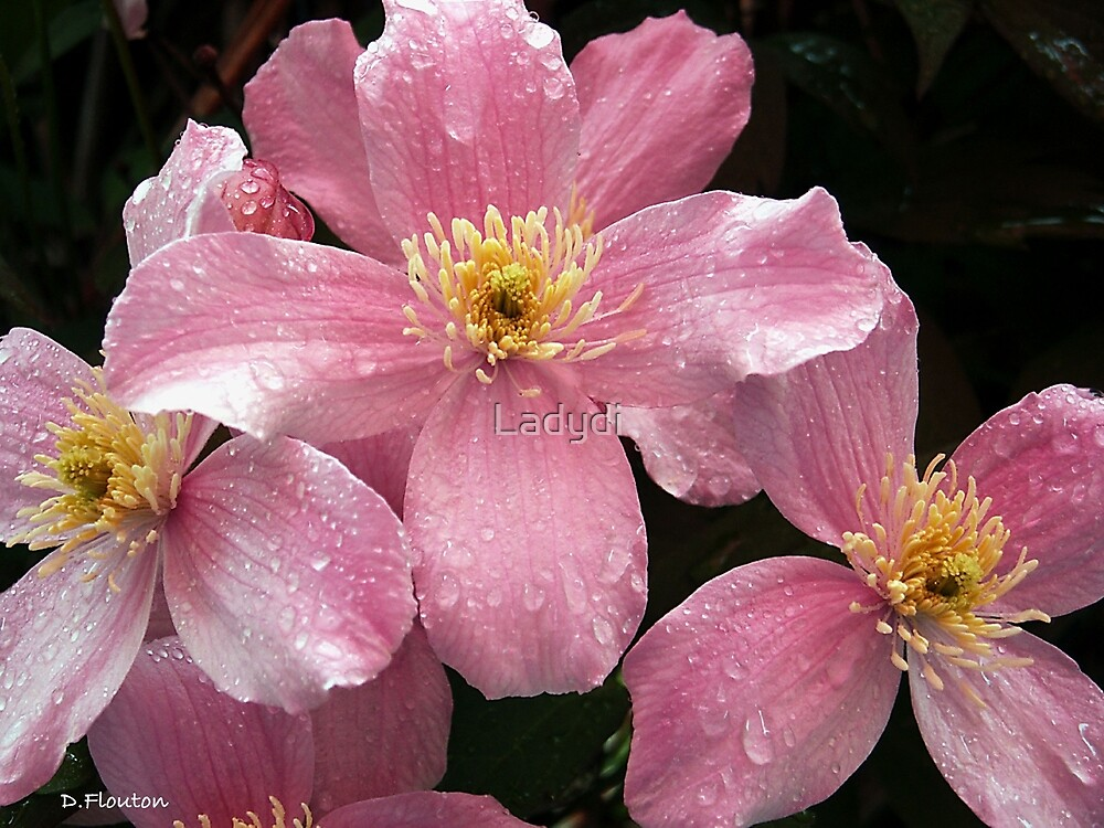 Pink Clematis after the Rain by Ladydi