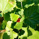 «Perla roja ligeramente revelada» de lucielitchi