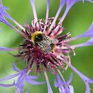 Bee on cornflower by Carole Stevens