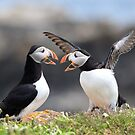 Puffin Fight by mlorenz