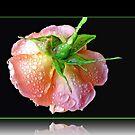 Orange Wildfire - Regentropfen auf Rose im Reflexions-Rahmen von BlueMoonRose