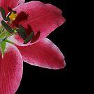 Pink Petal by Kylie Van Ingen