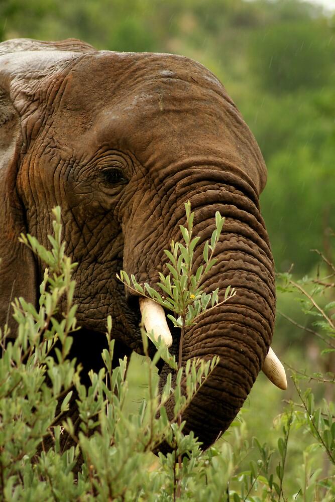 Elephant in the rain by Graeme Shannon
