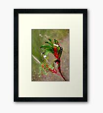Red Green Kangaroo Paw Framed Print