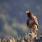 Young Egyptian Vulture by Dominika Aniola