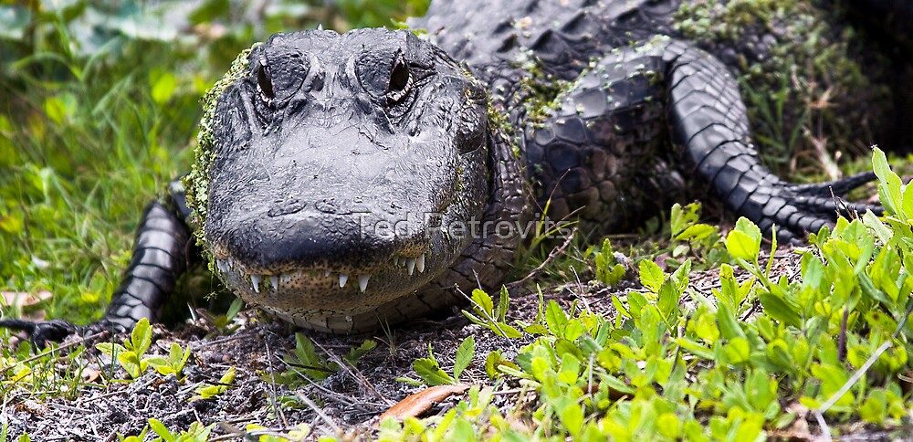 gator grin by Ted Petrovits