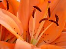 Lily stamens by Laurie Minor