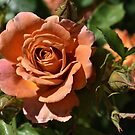 Peach Rose With Buds by Len Bomba