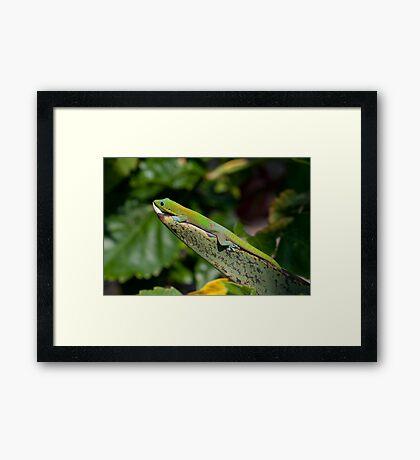 Madagascar Gecko Framed Print