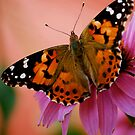 Painted Lady Butterfly by Pamela Hubbard