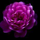 Moonlit Rose by John Pacifico