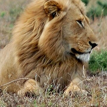FEELING LONELY - THE LION – Panthera leo by mags