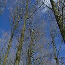 Tall trees, blue sky by Ditherella