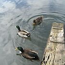 Ducks in the water by Ditherella