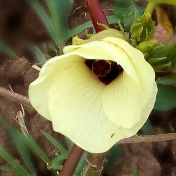 Okra flower  by frankiesgirl