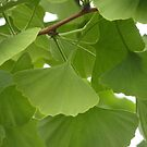 Ginko leaves by Ditherella