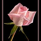 This Pink Rose Dances by Gregory J Summers