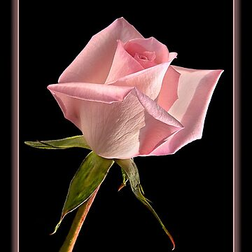 This Pink Rose Dances by nikongreg