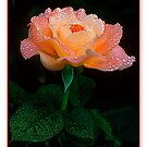 Candy Rose by Gregory J Summers